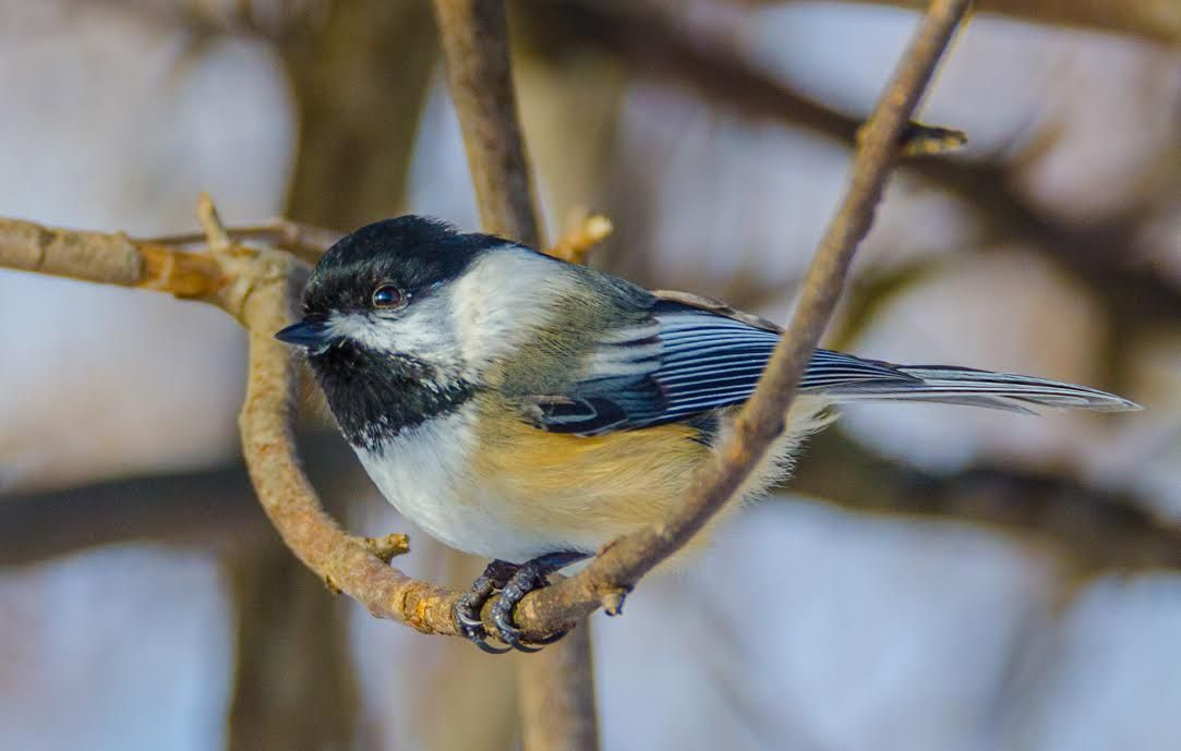 "Bird on branch.  By ""BataviaWillem"" (Ontario)"