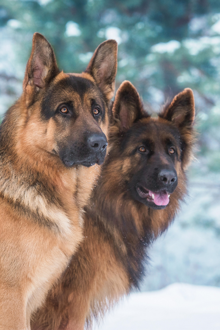 Portrait of two german shepherd dogs in winter #germanshepherd #germanshepards