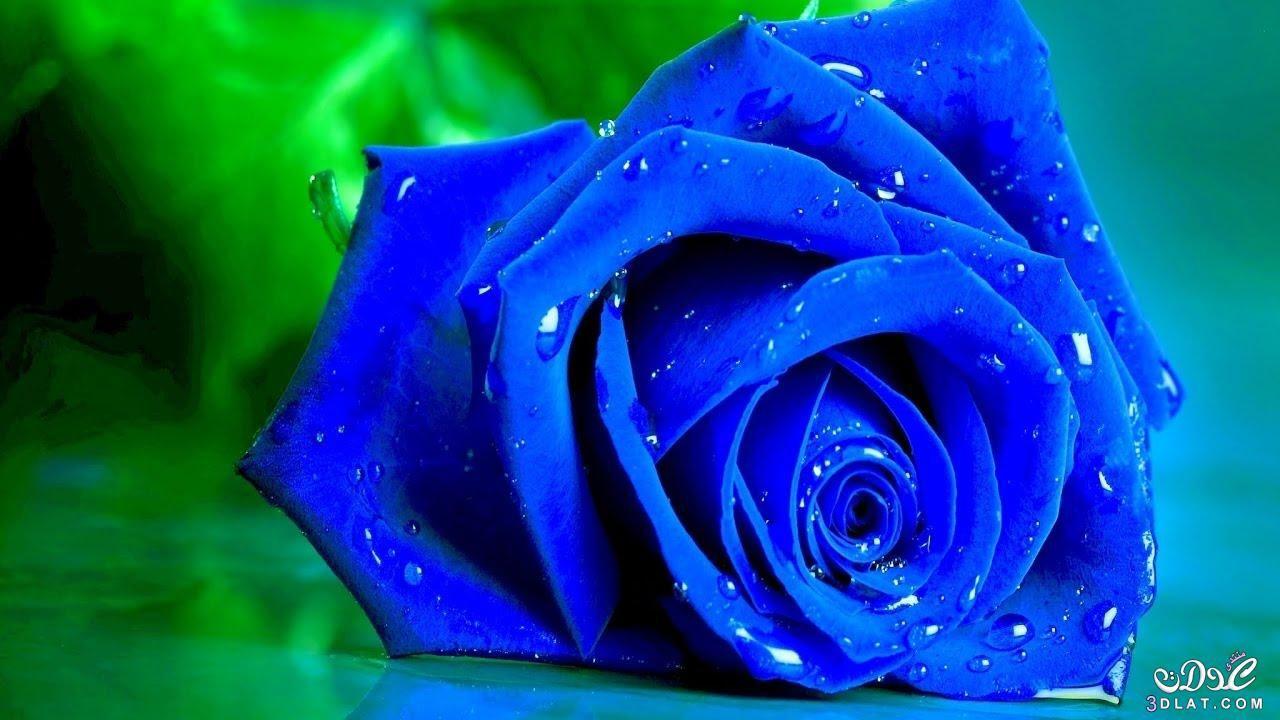 بنفسجى جميل 2017 احلي ورود بنفسجية 3dlat Net 25 17 E5ab Blue Roses Wallpaper Blue Roses Rare Roses