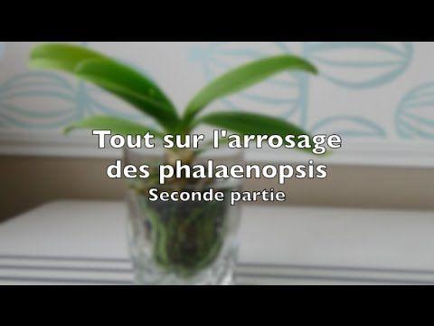 Tout Sur L Arrosage Des Phalaenopsis Deuxieme Partie Arrosage