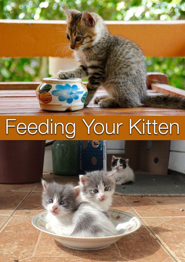 Feeding Your Kitten Feeding Kittens Kitten Food Kitten Care