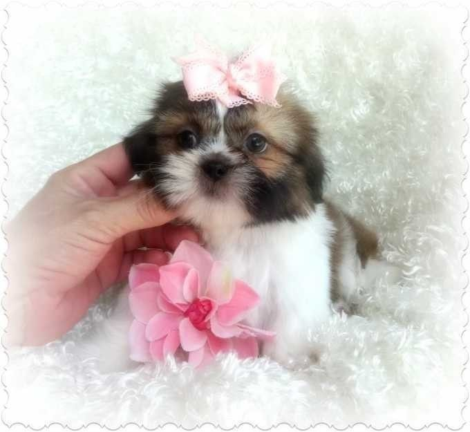 Shih Tzu Baby S Ckc Puppies For Sale Dogs For Sale Puppies