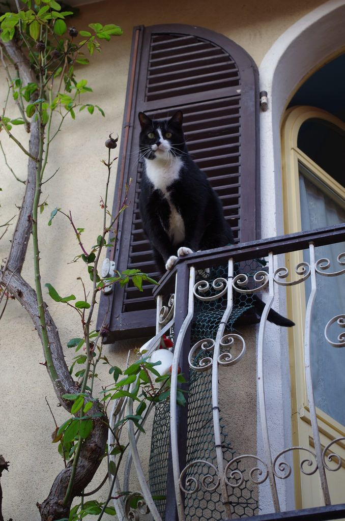 Gatto castellano