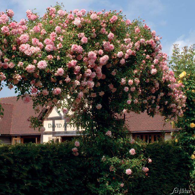 Ramblerrose Paul Noel Kaufen Garten Schla Ter Rambler Rose Rosenarten Rosa Garten
