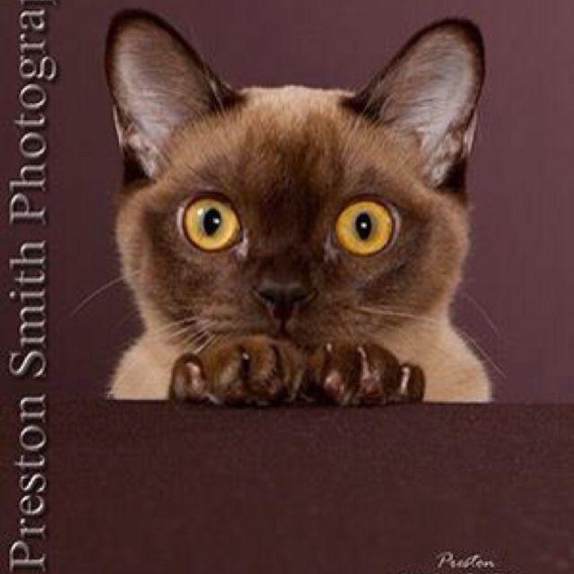 Burmese Preston Smith Photography Animals Cats Preston Smith