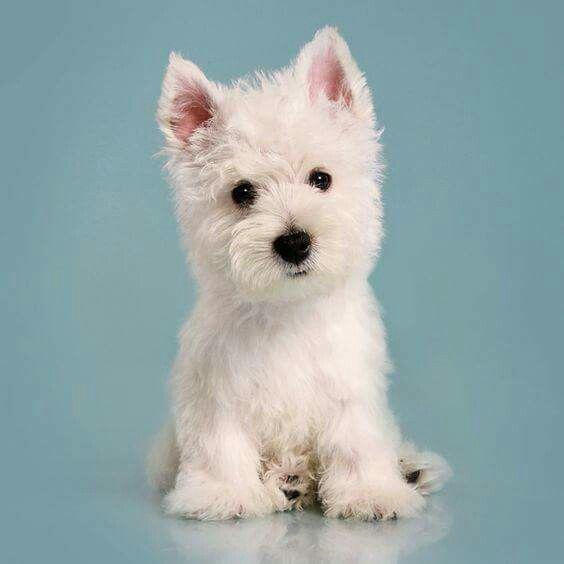 Pin By Lorraine Hernandez On Doggies Westie Puppies Westies Puppies