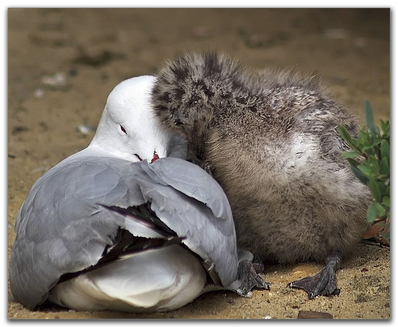 Baby Seagull | Bird Buddies | Puffins bird, Sea birds, Birds