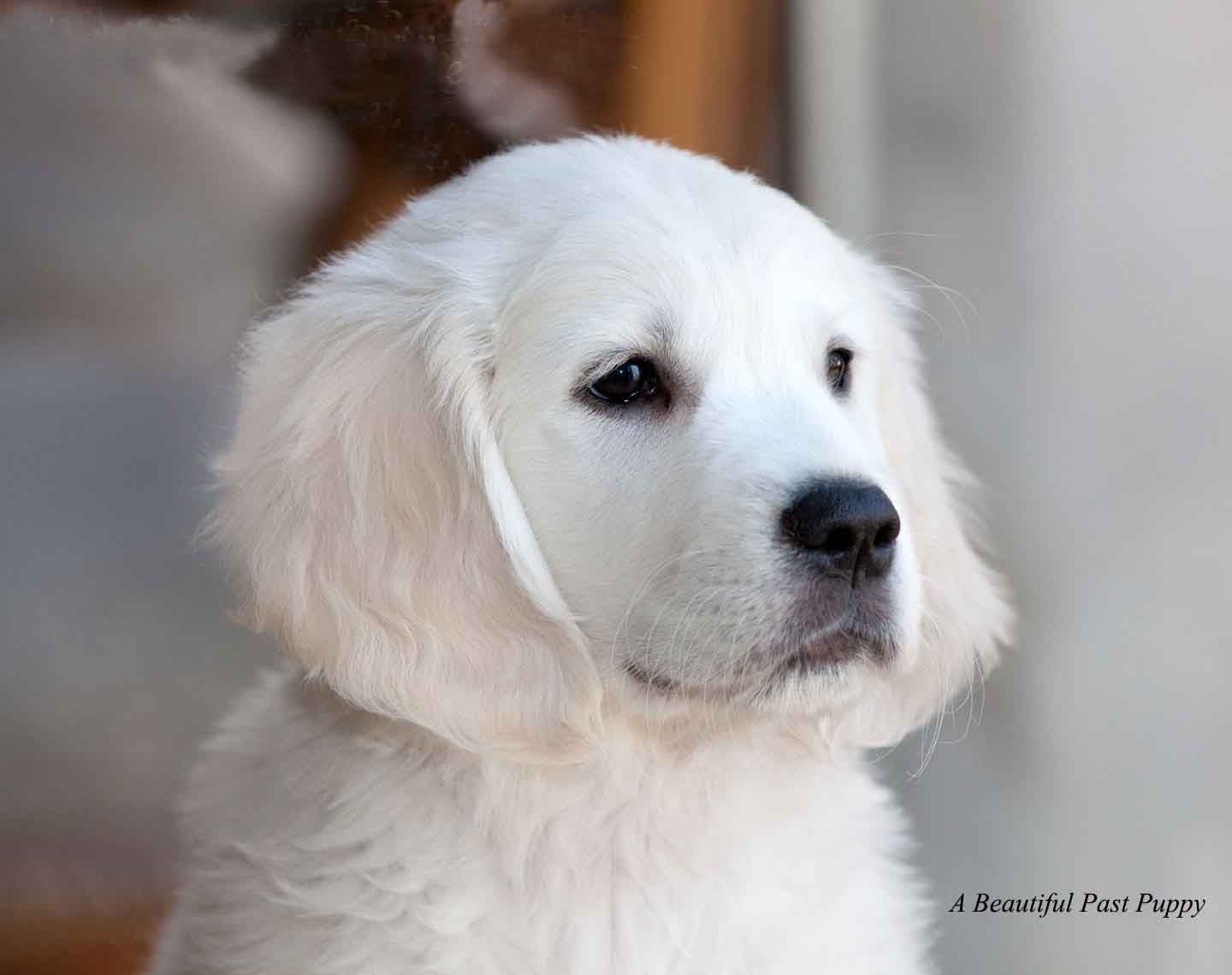Maxpuppy Fluffy Dogs Golden Retriever White Golden Retriever Puppy English Golden Retrievers
