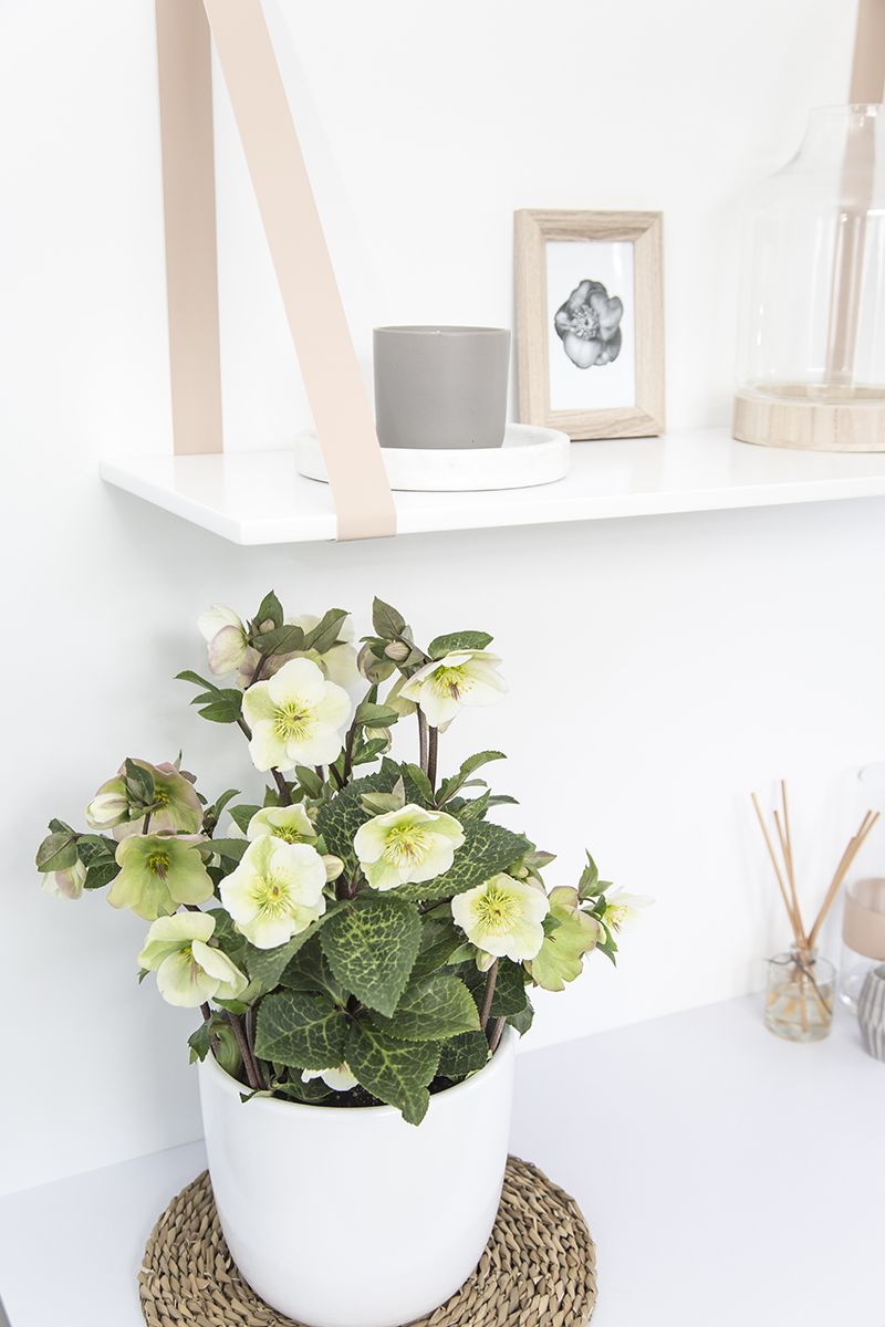 Hellebore Mollys White Indoors For Up To Three Weeks