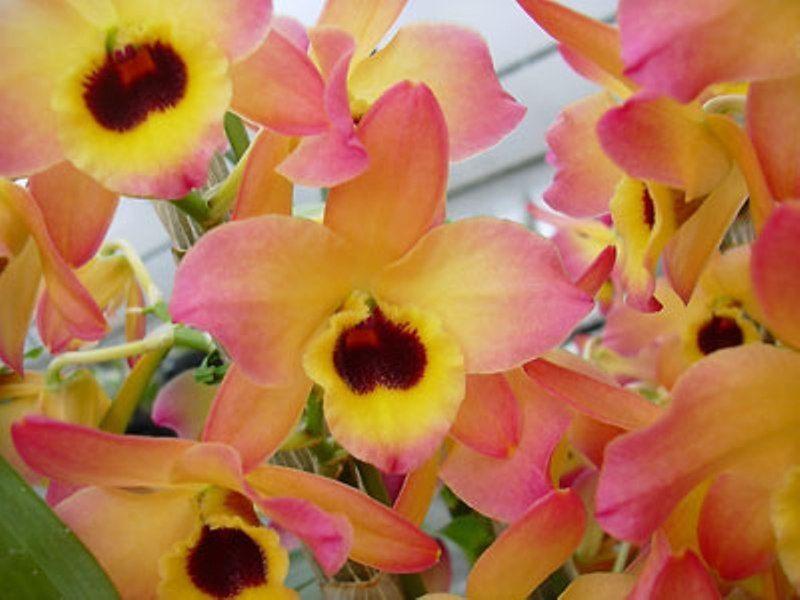 Den Oriental Smile Butterfly In Buds 3 Orquideas Dendrobium Orquidea Jardinagem