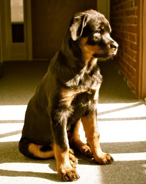 10 Interesting Facts About Rottweilersclick The Picture To Read