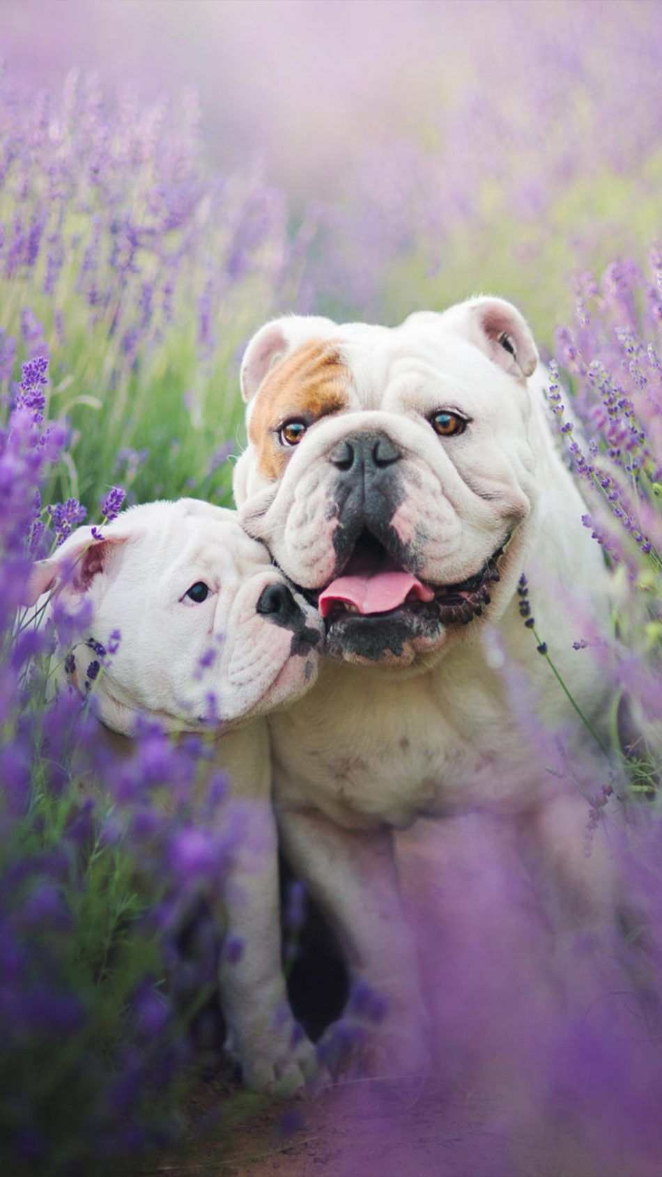 Bulldog With Puppy Puppies Bulldog Wallpaper Dogs