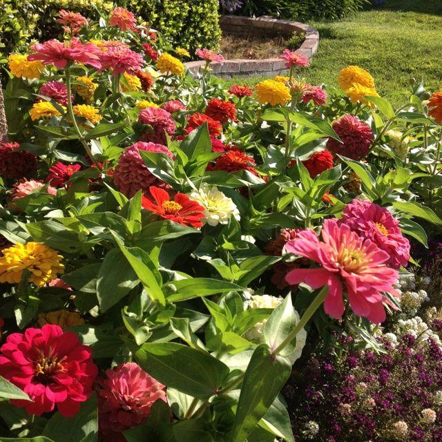 Images Of Zinnia Gardens Garden Flower Love Pinterest Front House