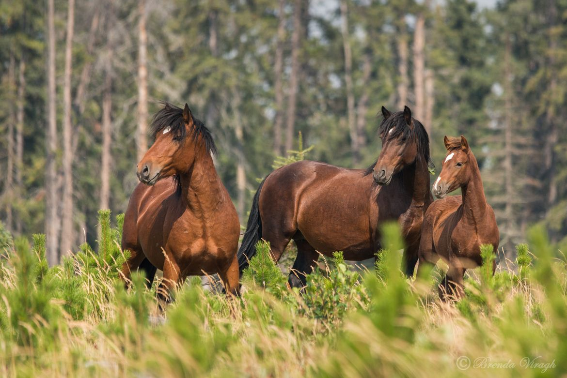 Wildlife Photo of the Day - September 23, 2015: A small group of three that crossed in front of us while we were traveling the back roads west of Sundre, Alberta. These are a few of the wild horses of southern Alberta. We had seen a few groups this day, but this was just a small family, dad, mom and baby.