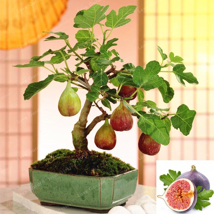 50 Pcs Rare Tropical Fig Bonsai Mini Fig Tree Bonsai Plant Bonsai Rare Fruit Bonsai For Home Planting Germination Bonsai Bitkisi Bonsai Agaclari Bonzai Agaci