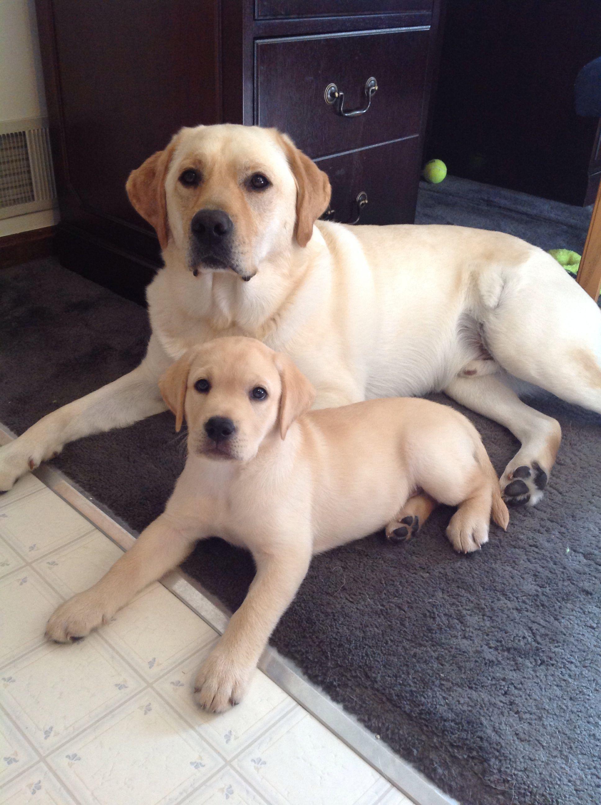 My Beautiful Lab Babies Labrador Retriever Puppies Labrador Retriever Black Labrador Retriever