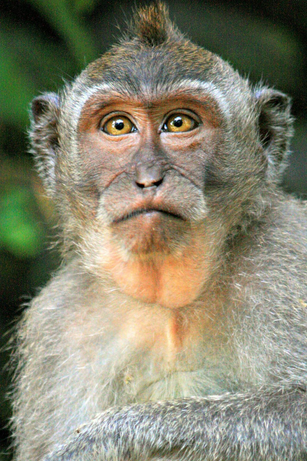 Bali Macaque by David Curry on 500px Apen, Dieren