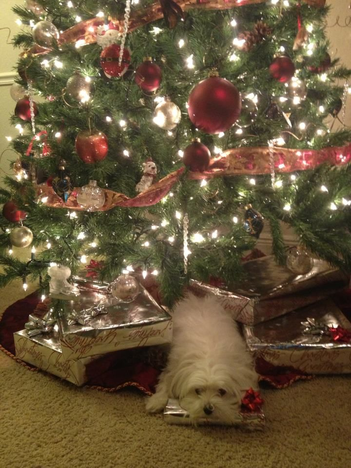 This Is One Eager Puppy Waiting To Open His Christmas Presents Christmas Animals Christmas Dog Dog Holiday
