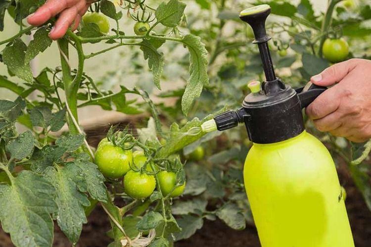 Tomaten düngen wie oft und ab wann? Infos und passende Dünger