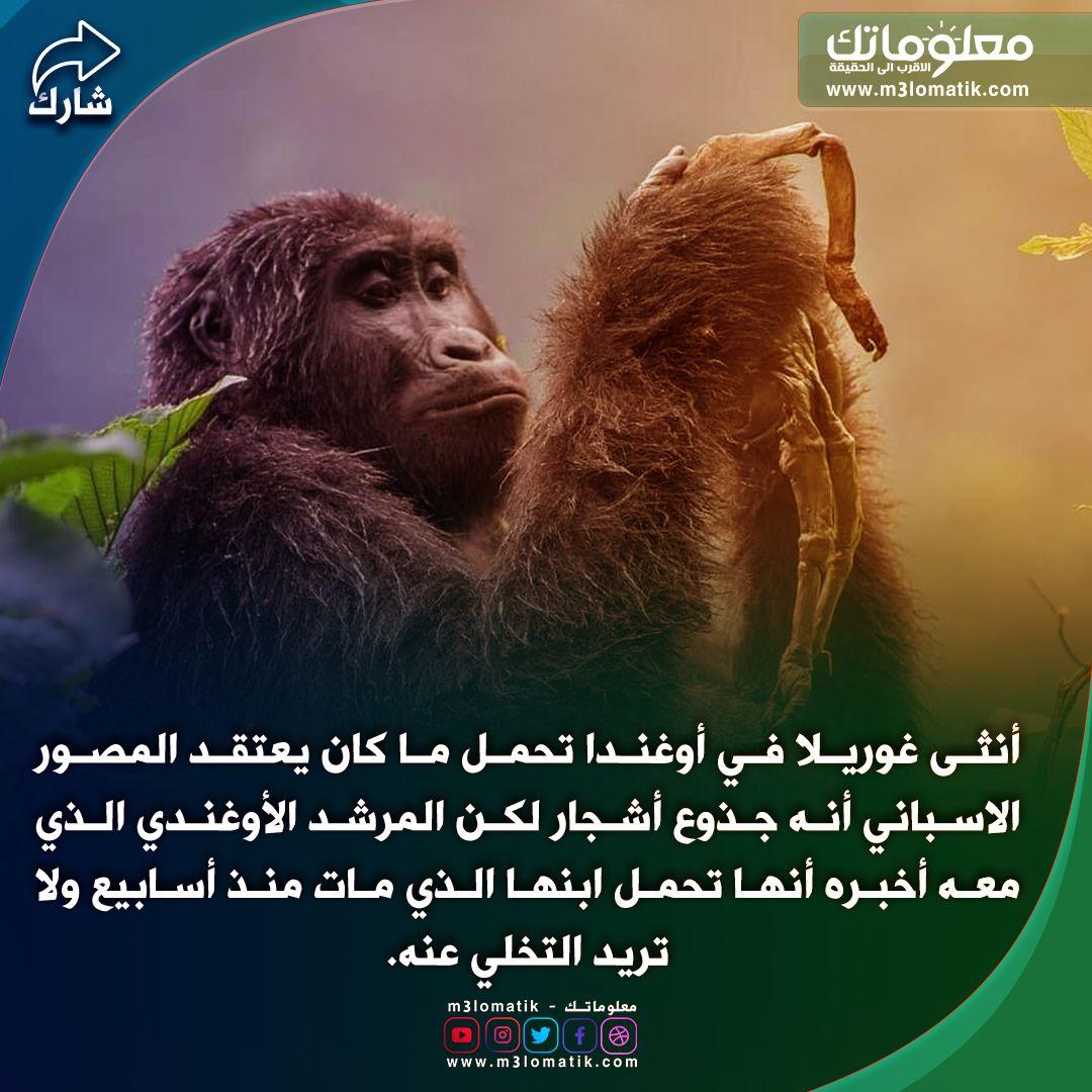 غوريلا Gorilla Animals