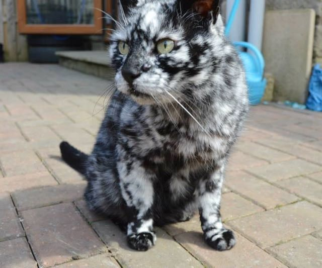 Scrappy Was Born A Black Cat Now Turning White Due To Vitiligo - Meet scrappy 19 year old black cat grew unique marble fur due rare skin condition