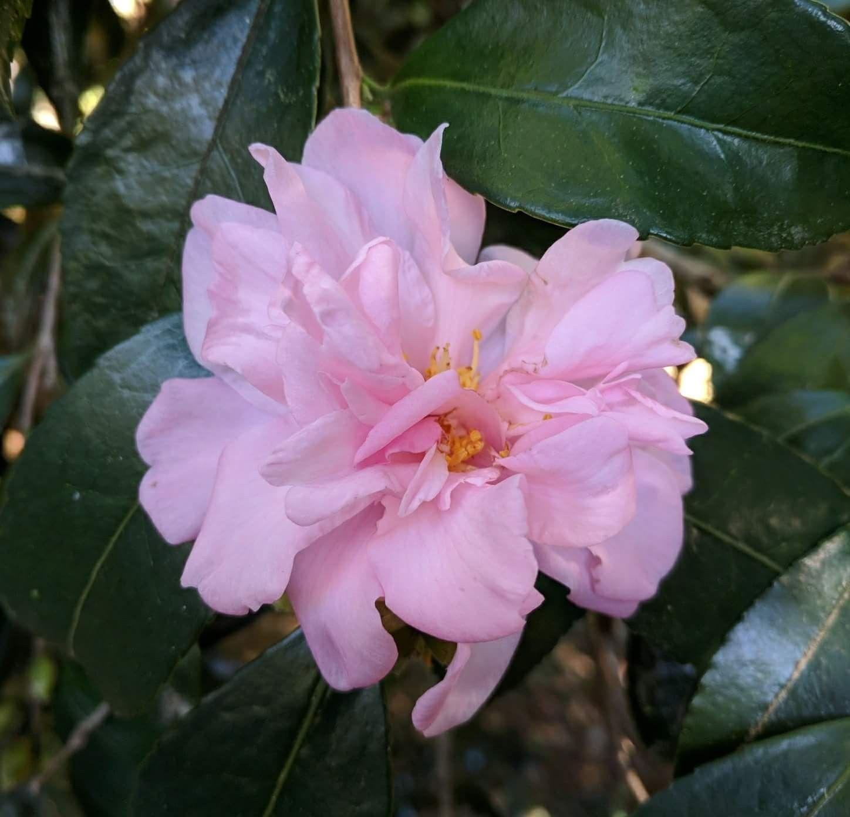 3 x TEA PLANTS Camellia sinensis 3 x 13cm Plants