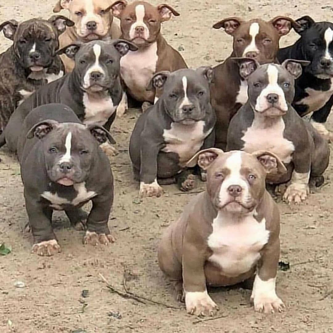 Develops Your Dog S Hidden Intelligence Dogs Bully Dog Pitbull Puppies