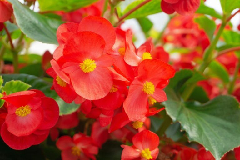 The Different Types Of Begonias In 2020 Begonia Garden Lovers Club Tuberous Begonia