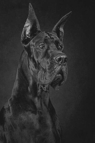 Pin By Patt Touchton On Dogs Dogs And Puppies Dane Dog Great