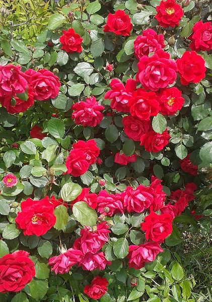 5 TIPS TO CARING FOR YOUR ROSES