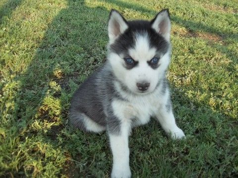 Siberian Husky Puppy For Sale In Gladstone Nm Adn 45482 On