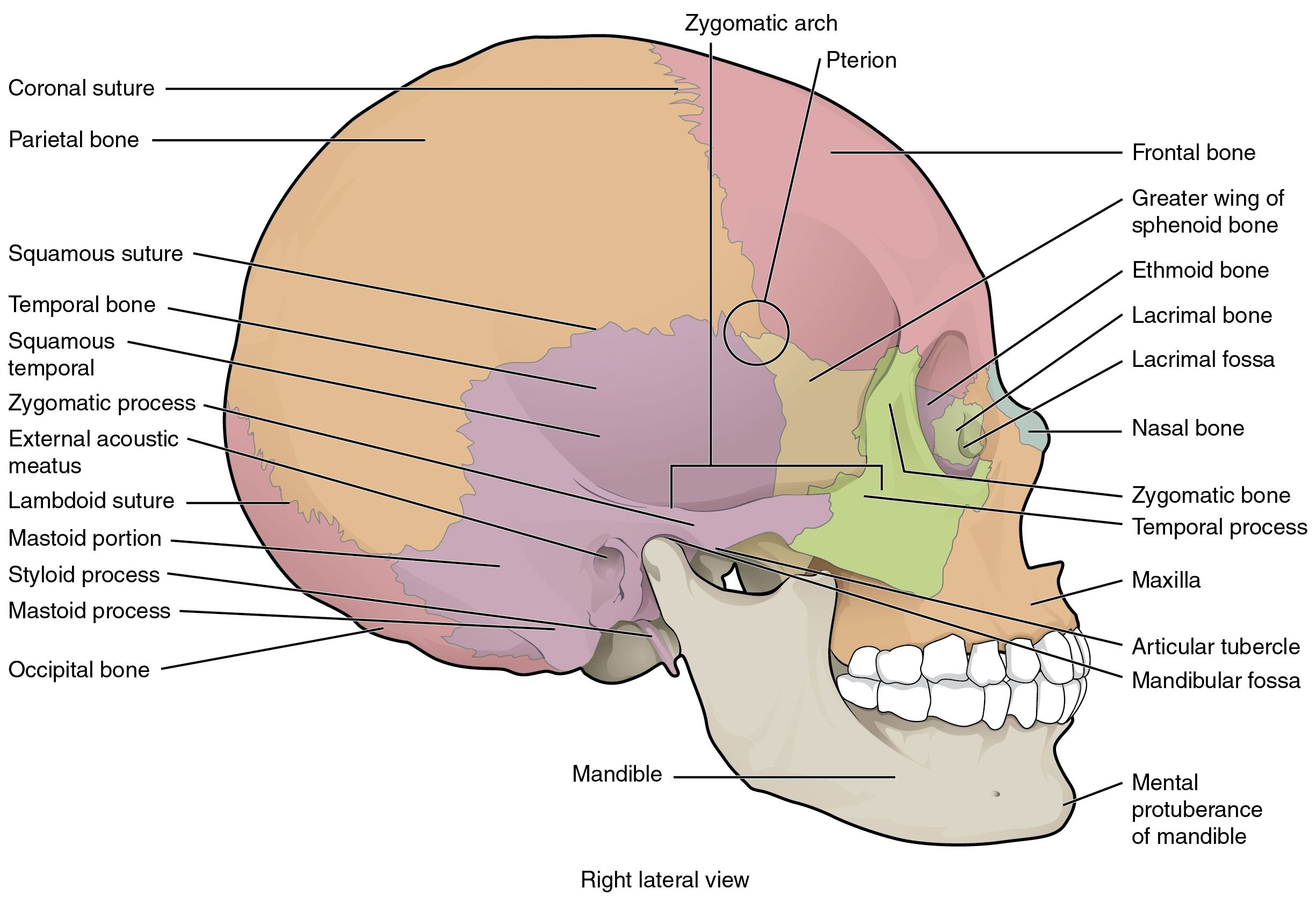 Brain And Skull Anatomy The Skull · Anatomy And Physiology | smoke01 ...