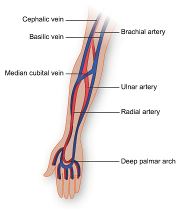Veins And Arteries Of The Arm Somatics Pinterest Med School