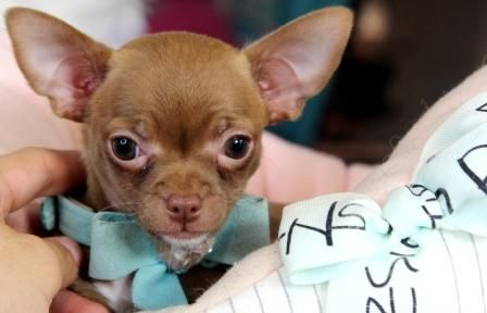 Teacup Chihuahuas For Sale Chihuahua Puppies Baby Chihuahua