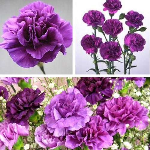 175pcs Magenta Carnation Dianthus Caryophyllus Flower Seeds Garden Home Decor Flower Seeds Carnation Plants Purple Carnations