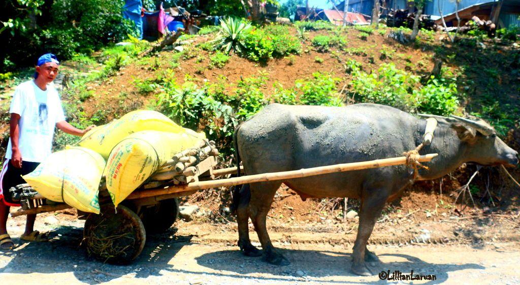 (67) tsū Animals, Farmer, Cow
