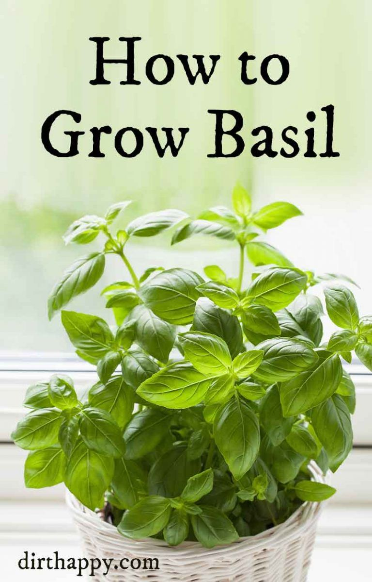 How To Grow Basil Growing Basil Plants In Your Herb Garden Basil Plant Growing Basil Basil Plant Indoors