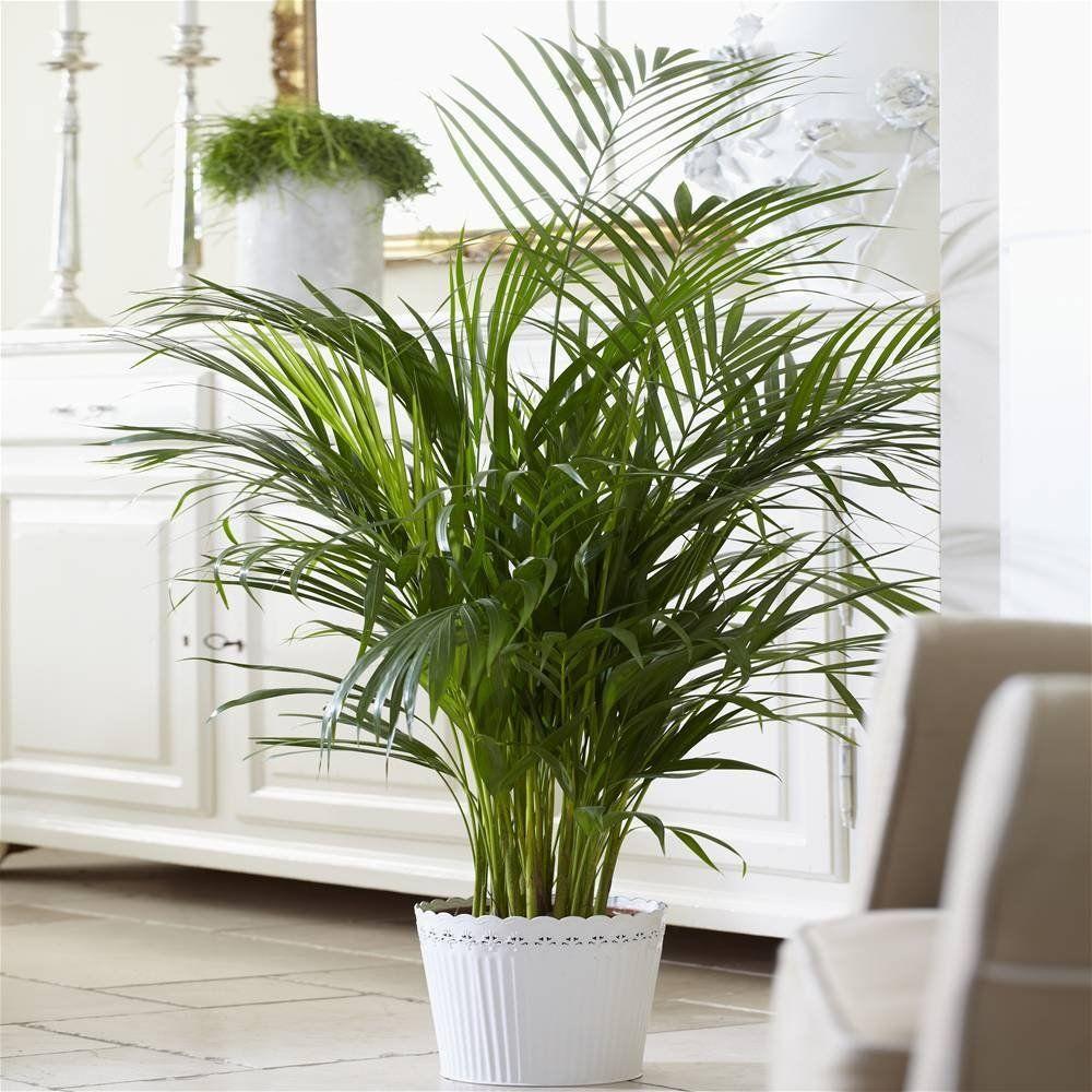 Die Kentia Palme Im Portrait Infos Pflegetipps Und Kaufempfehlungen Kentia Palme Indoor Pflanzen Dekor Zimmerpflanzen Wenig Licht