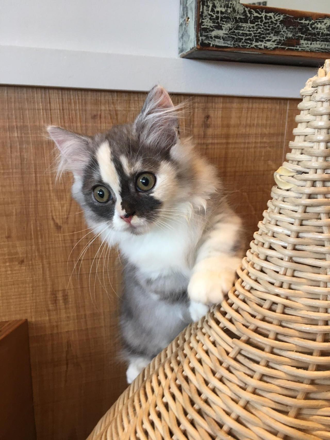 Cats Center Dwarf kittens, Cats, Tiny cats