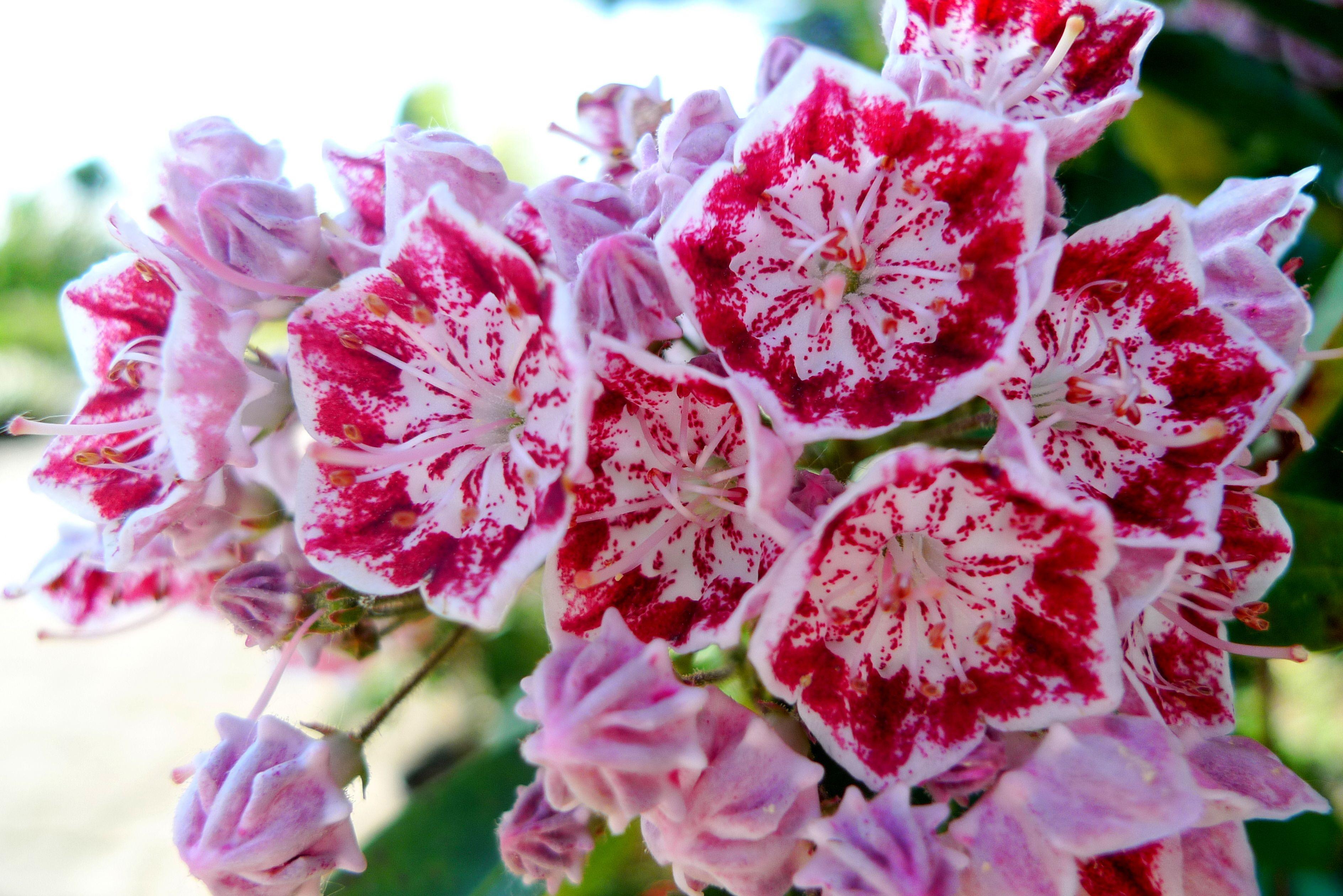 Kalmia Latifolia Minuet Kalmia Latifolia Plants Flowers
