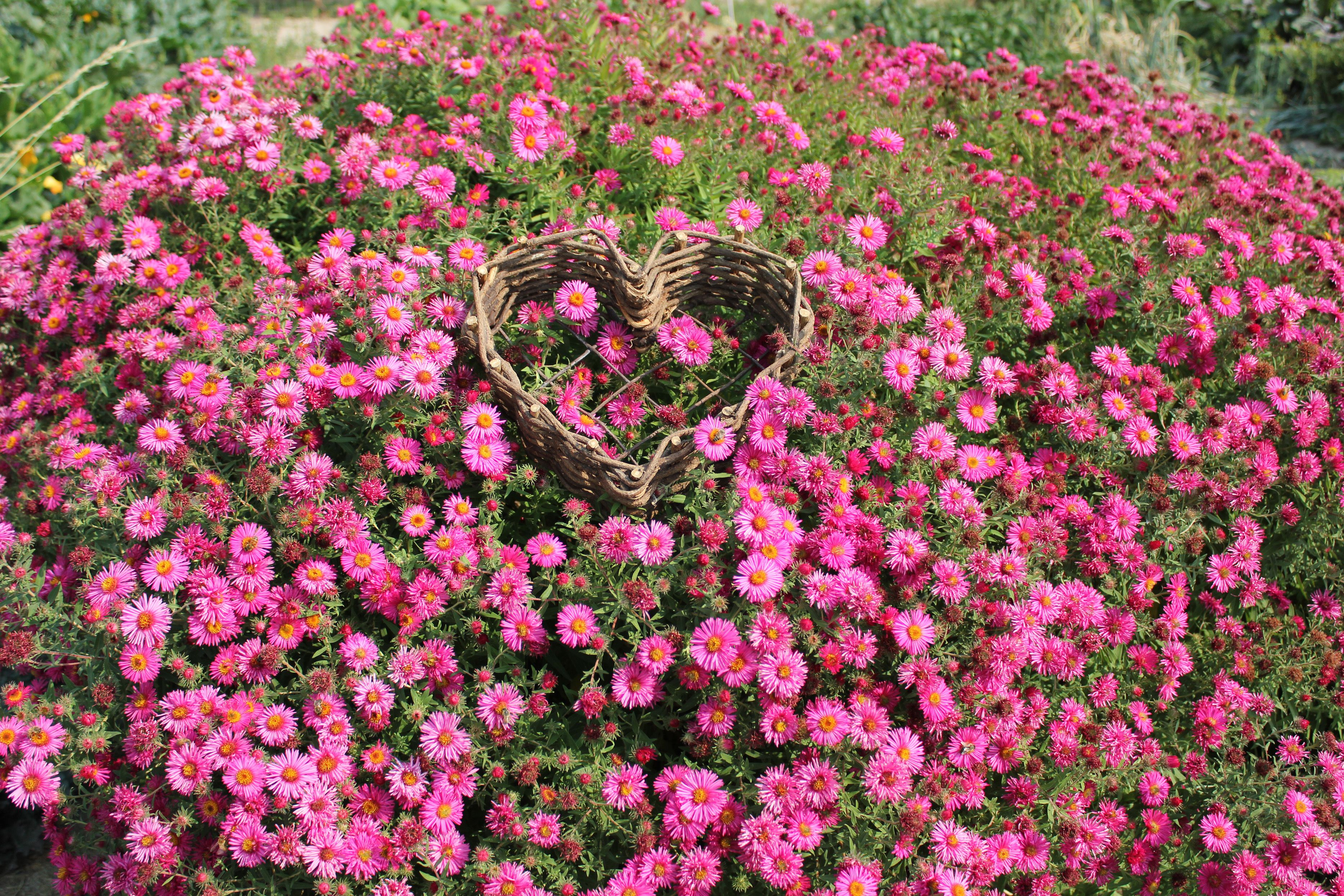 September Ruby Aster Hardy Perennial Vibrant Deep Pink Flowers With Yellow Centers 4 Tall Easy To Grow Even In Poor Soils