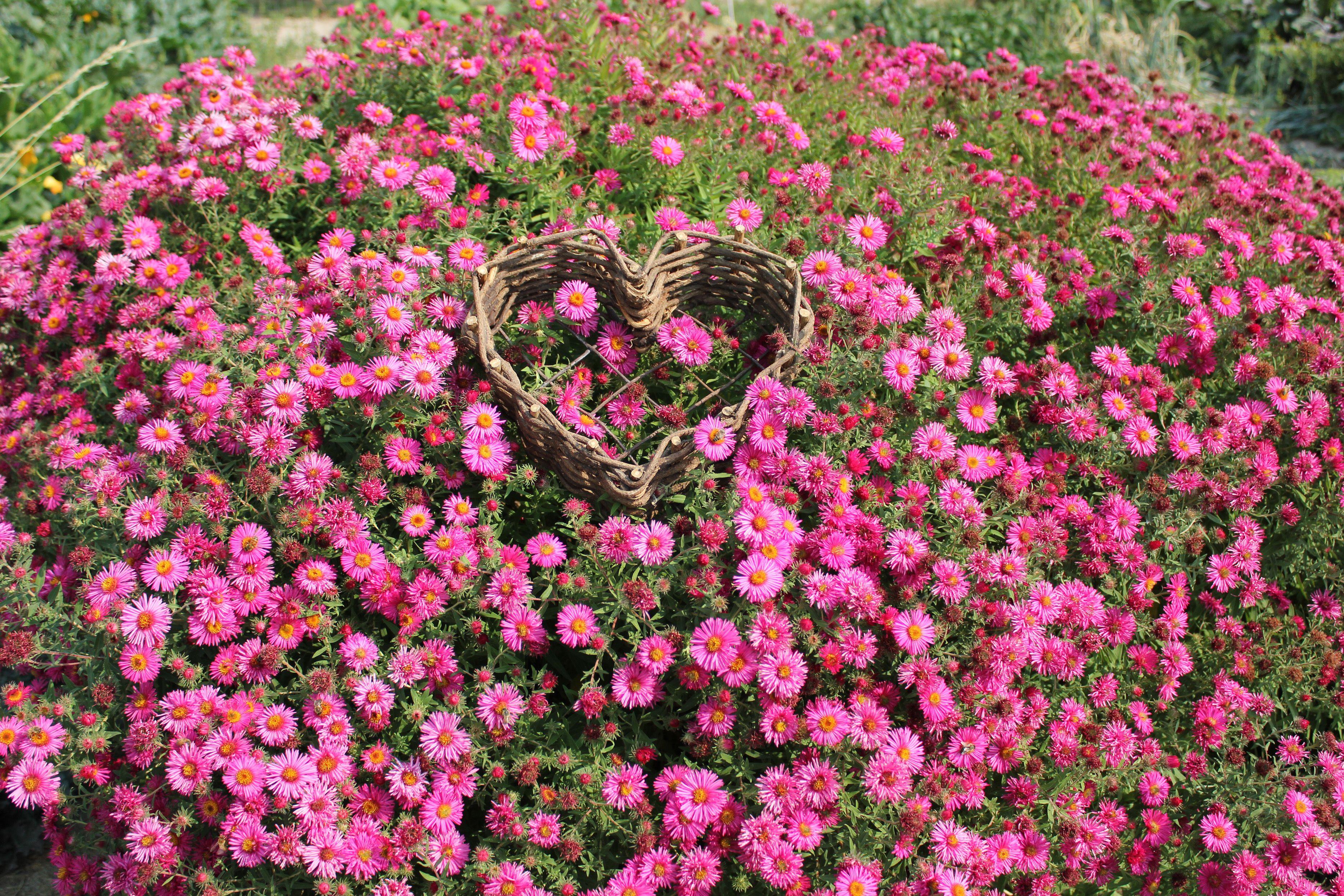 September Ruby Asterhardy Perennial Vibrant Deep Pink Flowers