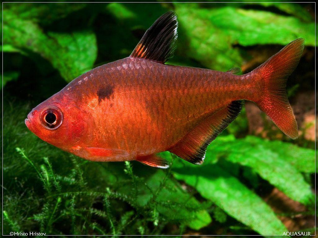 Serpae Tetra - Hyphessobrycon eques   Aquariums   Pinterest ...