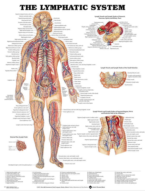 Human Lymphatic System Poster Anatomical Chart Human Body Medical