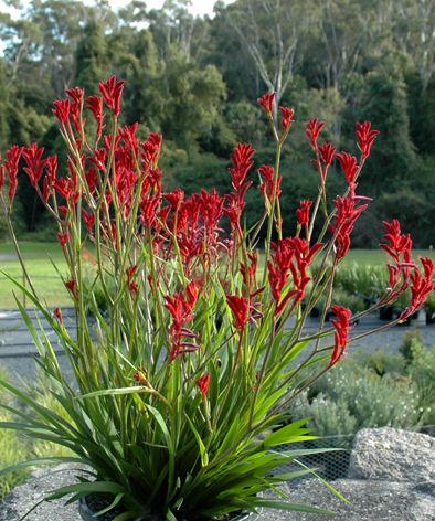 Anigozanthos Bushballad Jpg Kangaroo Paw Colorful Landscaping Plants Kangaroo Paw Plant