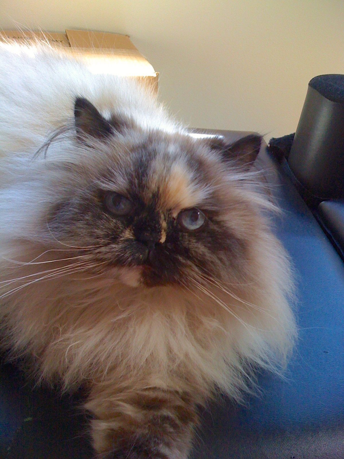 Matisse our adopted tortiepoint Himalayan. Crazy cats
