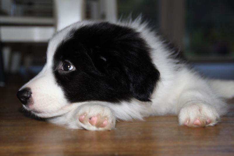 Our 9 Weeks Old Border Collie Haustiere Hunde Tiere