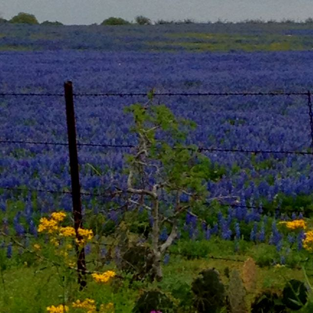 Best Time Of Year To Just Take A Drive Across Texas Texas Bluebonnets Favorite Places Natural Landmarks