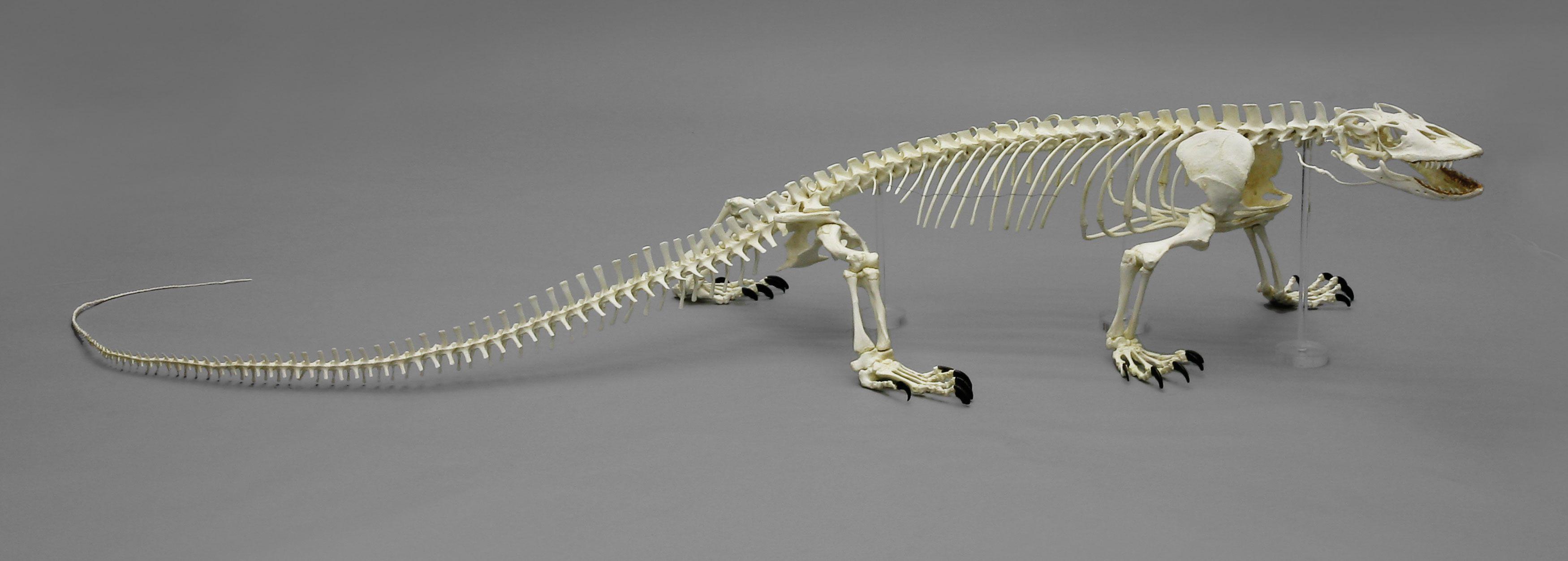 komodo dragon skeleton - Google Search | Animal Anatomy | Pinterest ...