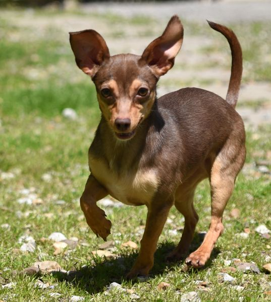 Chiweenie Dog For Adoption In Chattanooga Tn Adn 523741 On